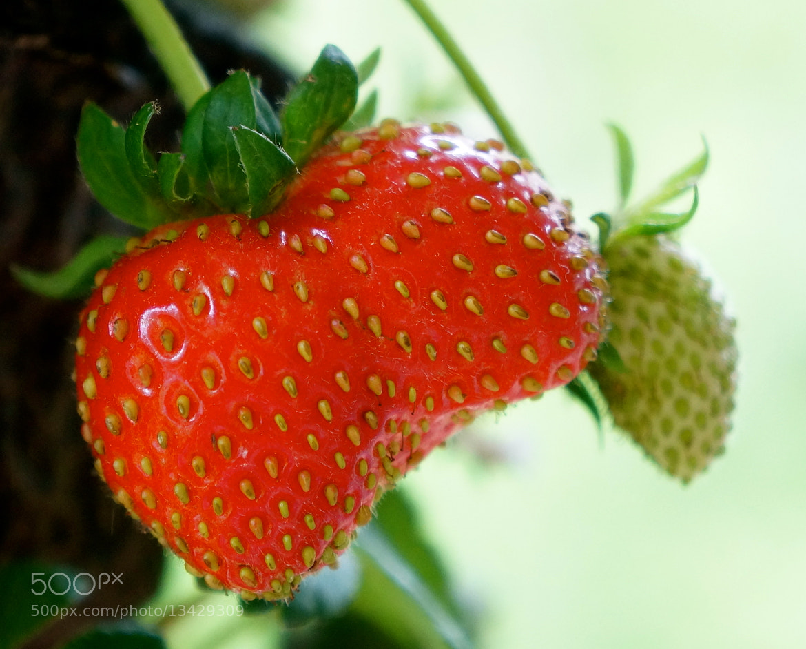Photograph New Strawberries by Rebecca Polamalu on 500px