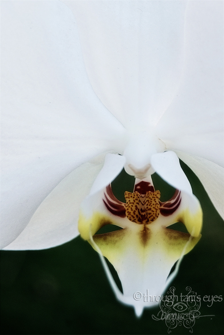 Photograph White Phaleonopsis Orchid by Tamara Pruessner on 500px