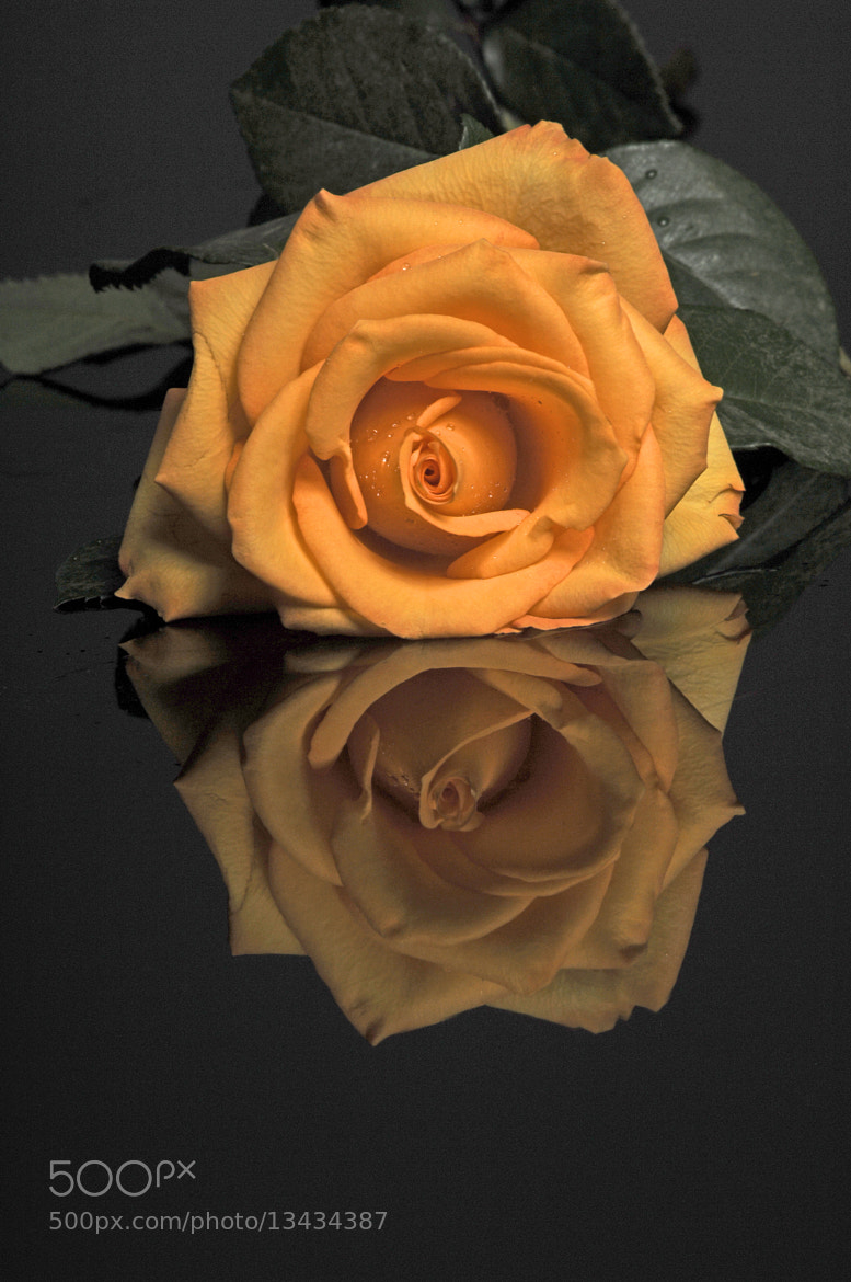 Photograph well opened yellow rose by Cristobal Garciaferro Rubio on 500px