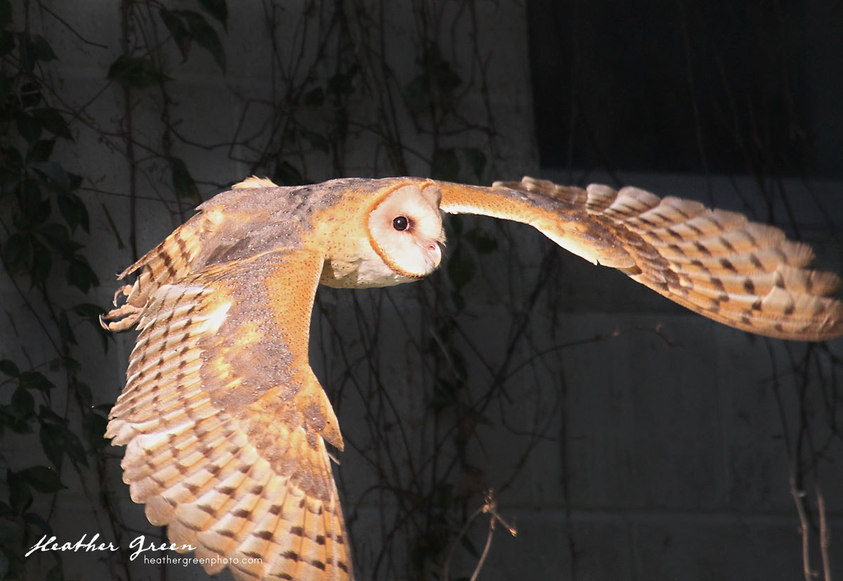 Photograph Barn Owl In Flight by Heather Green on 500px