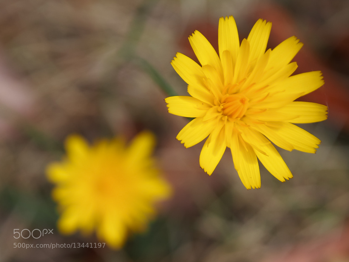 Photograph Dandy by Pat Teglia on 500px