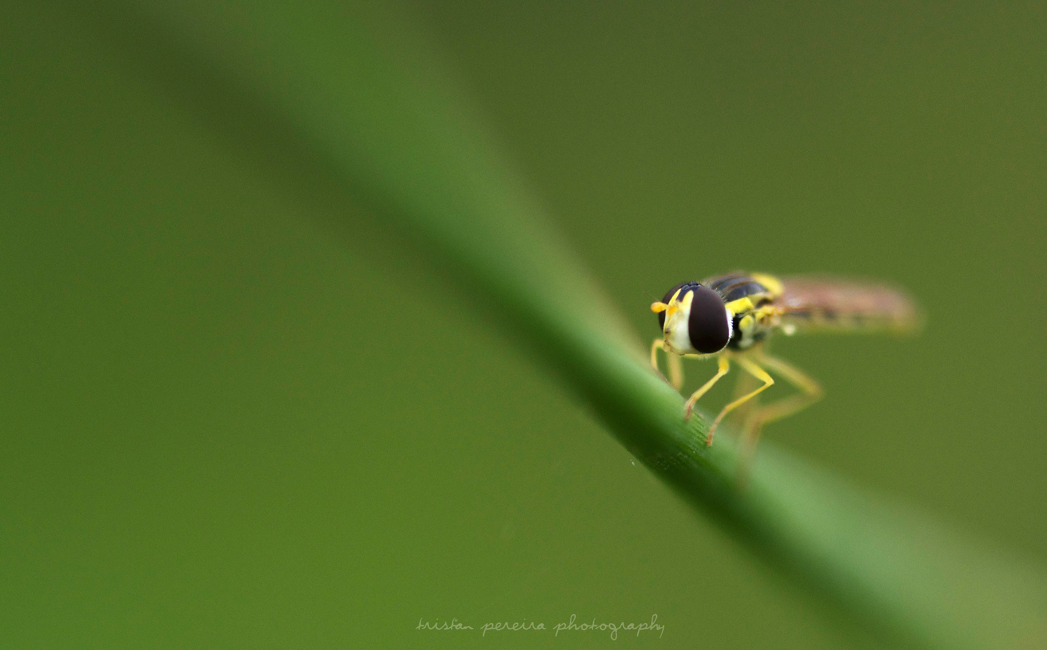 Photograph A hoverfly in a green world... by Tristan Pereira on 500px