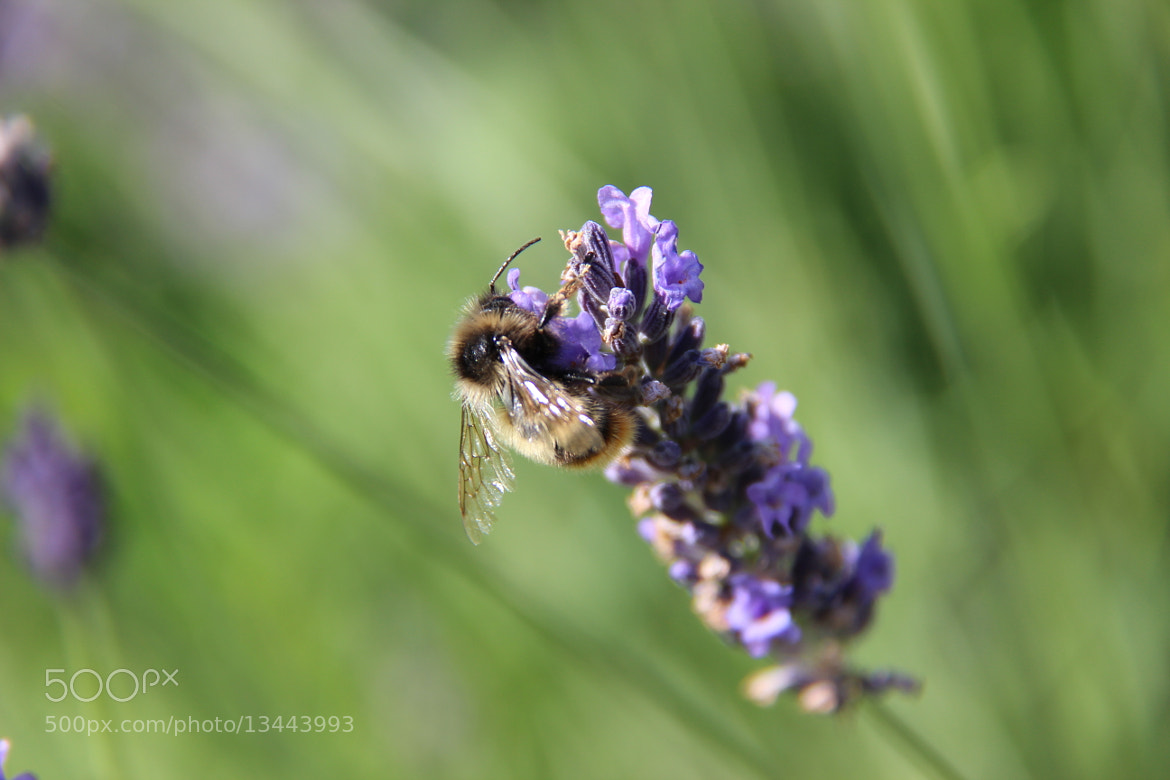 Photograph Bumble Bee by John Win on 500px