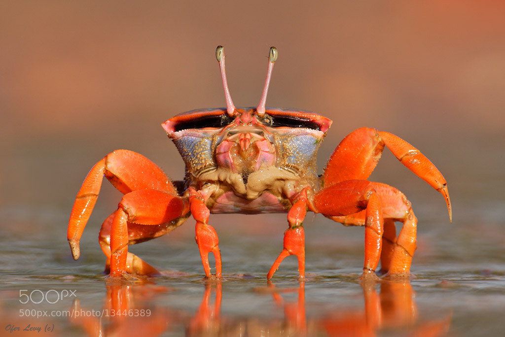 Photograph Darwin Red-legs Fiddler Crab by Ofer Levy on 500px
