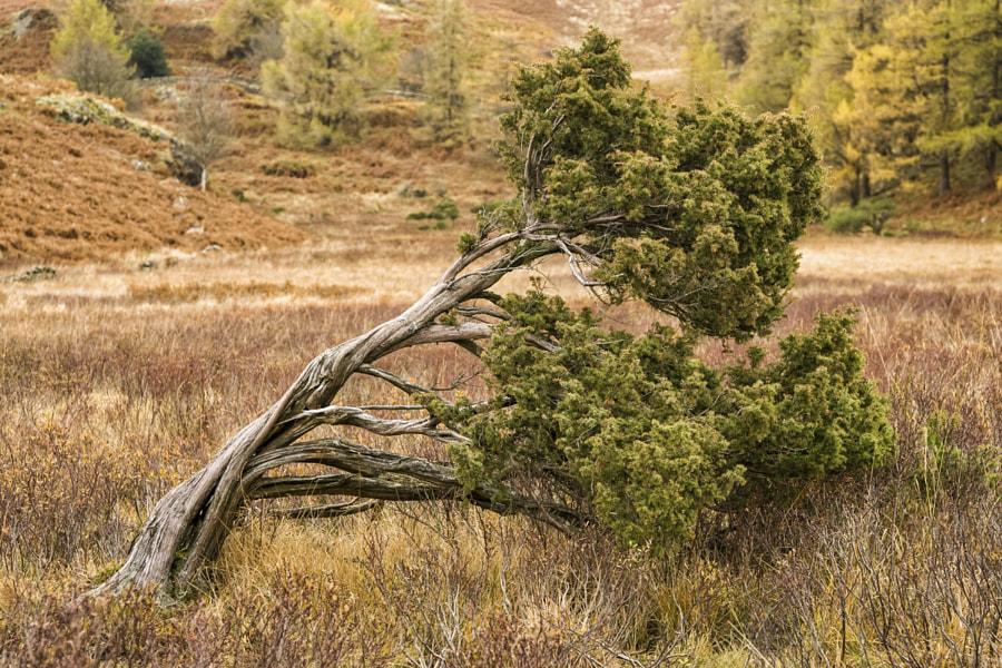 Windswept Juniper tree