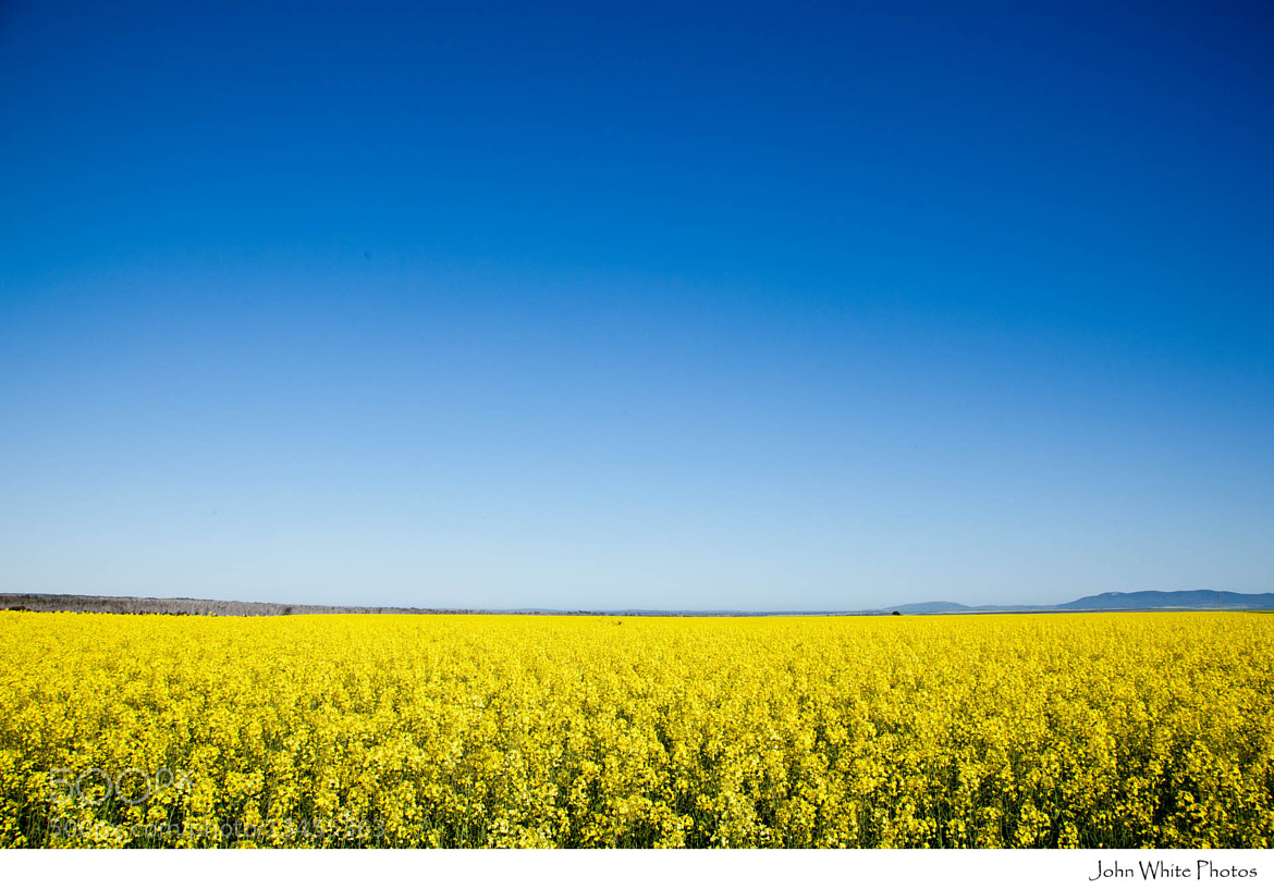 Photograph Canola by John White on 500px