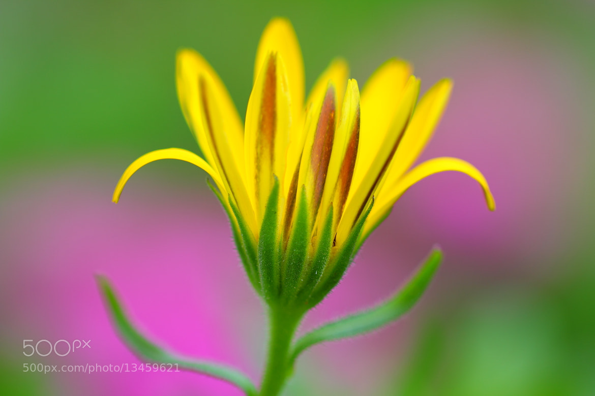 Photograph Mom's garden flower by Jan Kalis on 500px