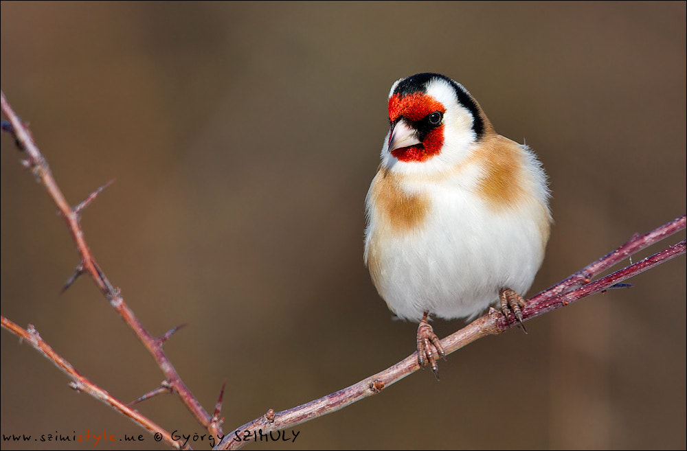 Photograph European Goldfinch (Carduelis carduelis) by Gyorgy Szimuly on 500px