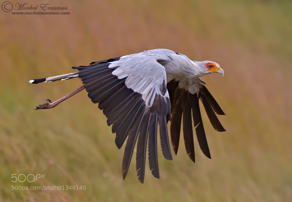 Photograph Soaring Secretary Bird by Morkel Erasmus on 500px