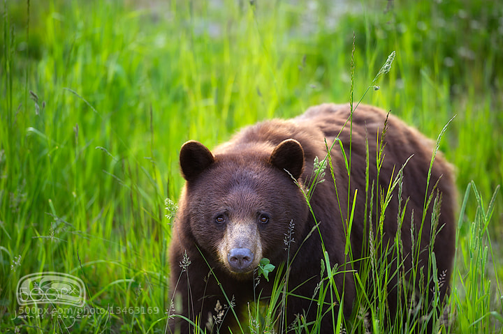 """Photograph """"WHISTLER BEAR"""" by James Fougere on 500px"""