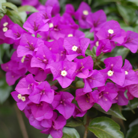 Bougambilia en flor