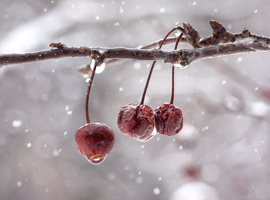 Crabapples in winter.jpg