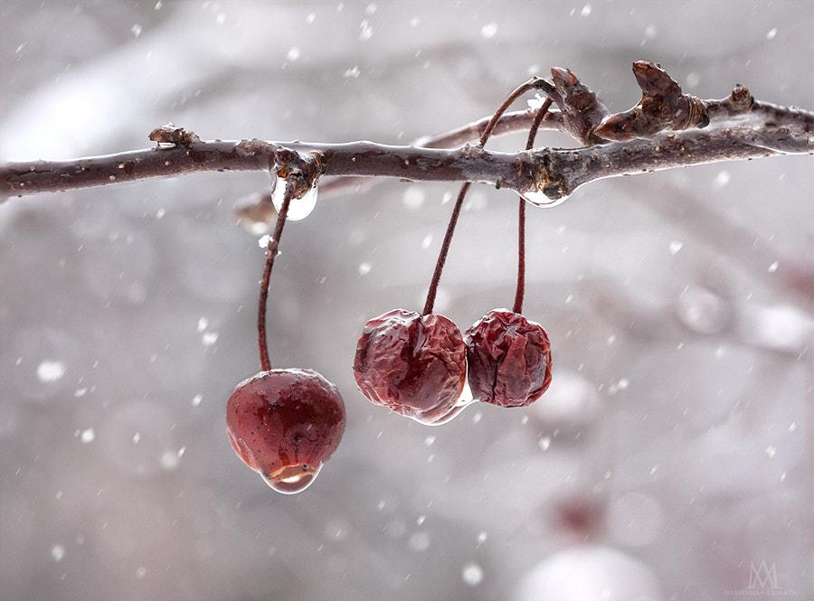 Crabapples in winter.jpg