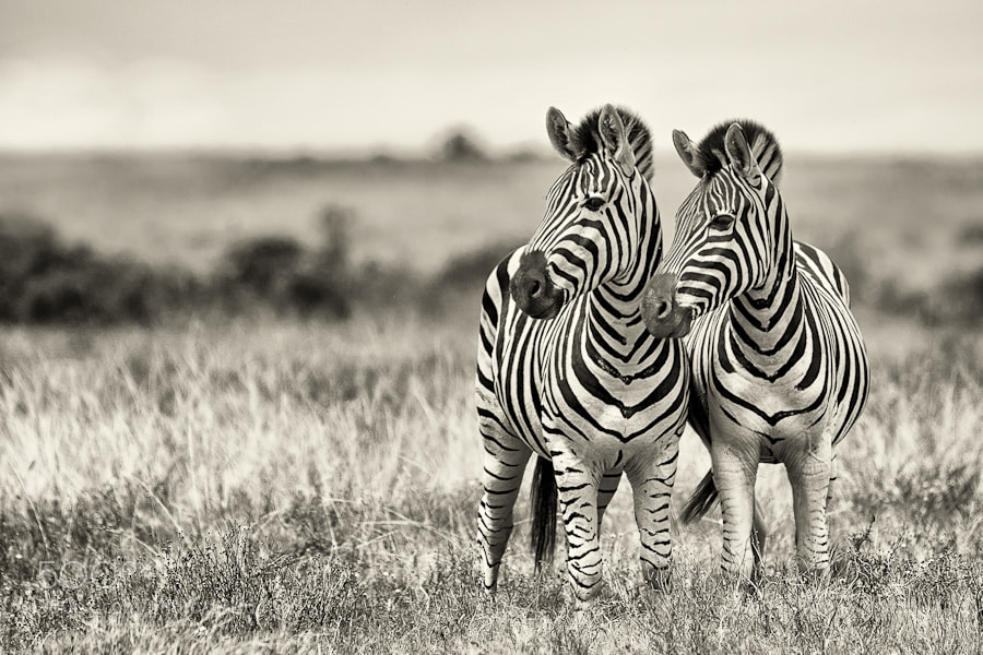 Photograph Addo Zebras by Mario Moreno on 500px