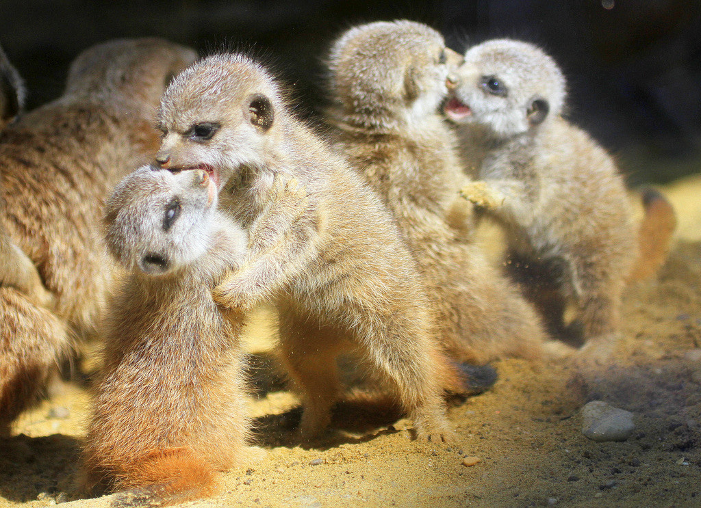 Photograph Rough playing meerkat babies by Rainer Leiss on 500px