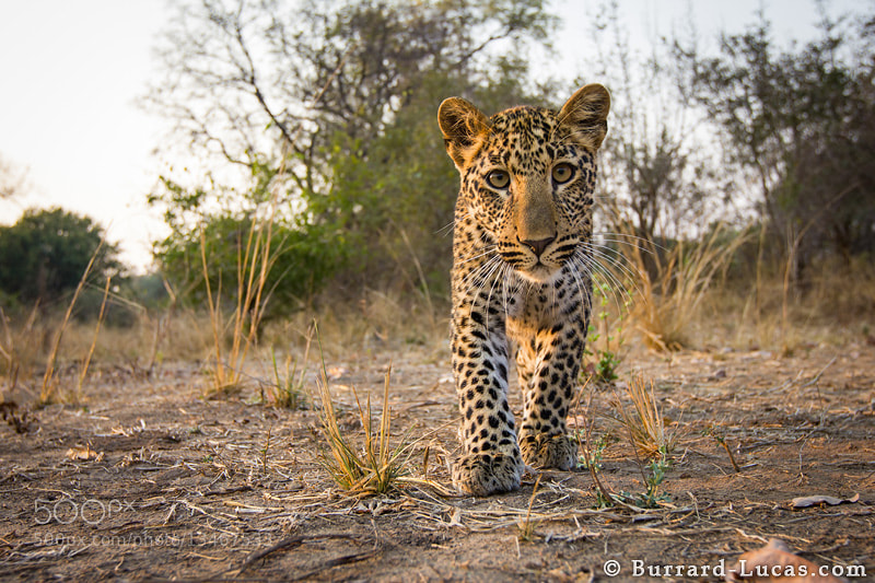 Photograph Inquisitive Cub by Will Burrard-Lucas on 500px