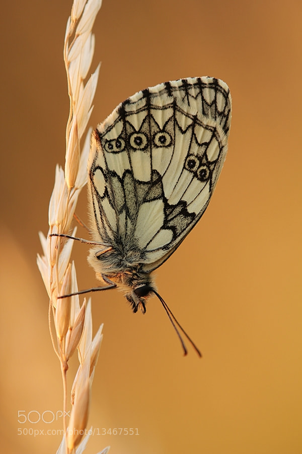 Photograph Melanargia Galathea by Julian Rad on 500px