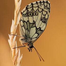 Melanargia Galathea by Julian Rad (Foo)) on 500px.com