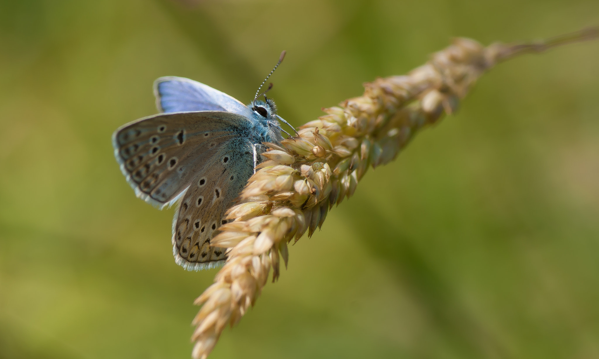 Photograph Common blue by Bas Mandos on 500px