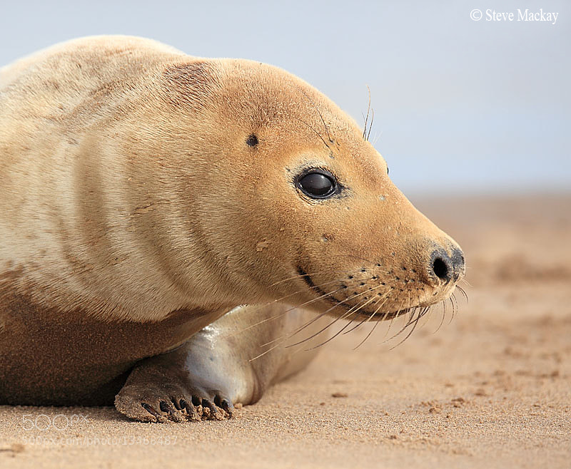 Photograph Charming Seal by Steve Mackay on 500px