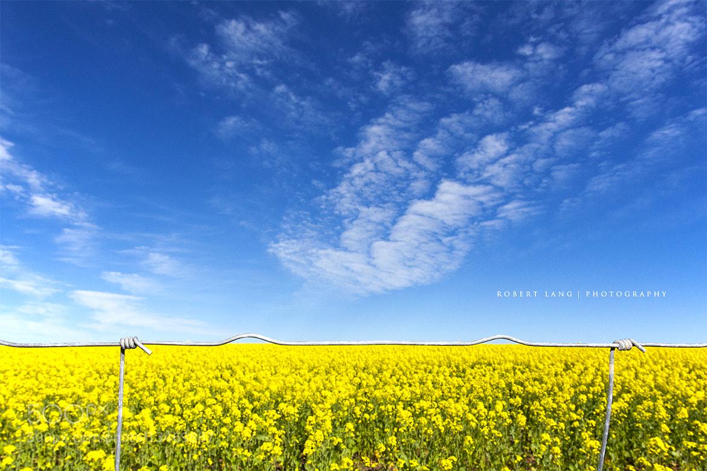 Photograph Canola fields, Eyre Peninsula, Australia by Robert Lang on 500px