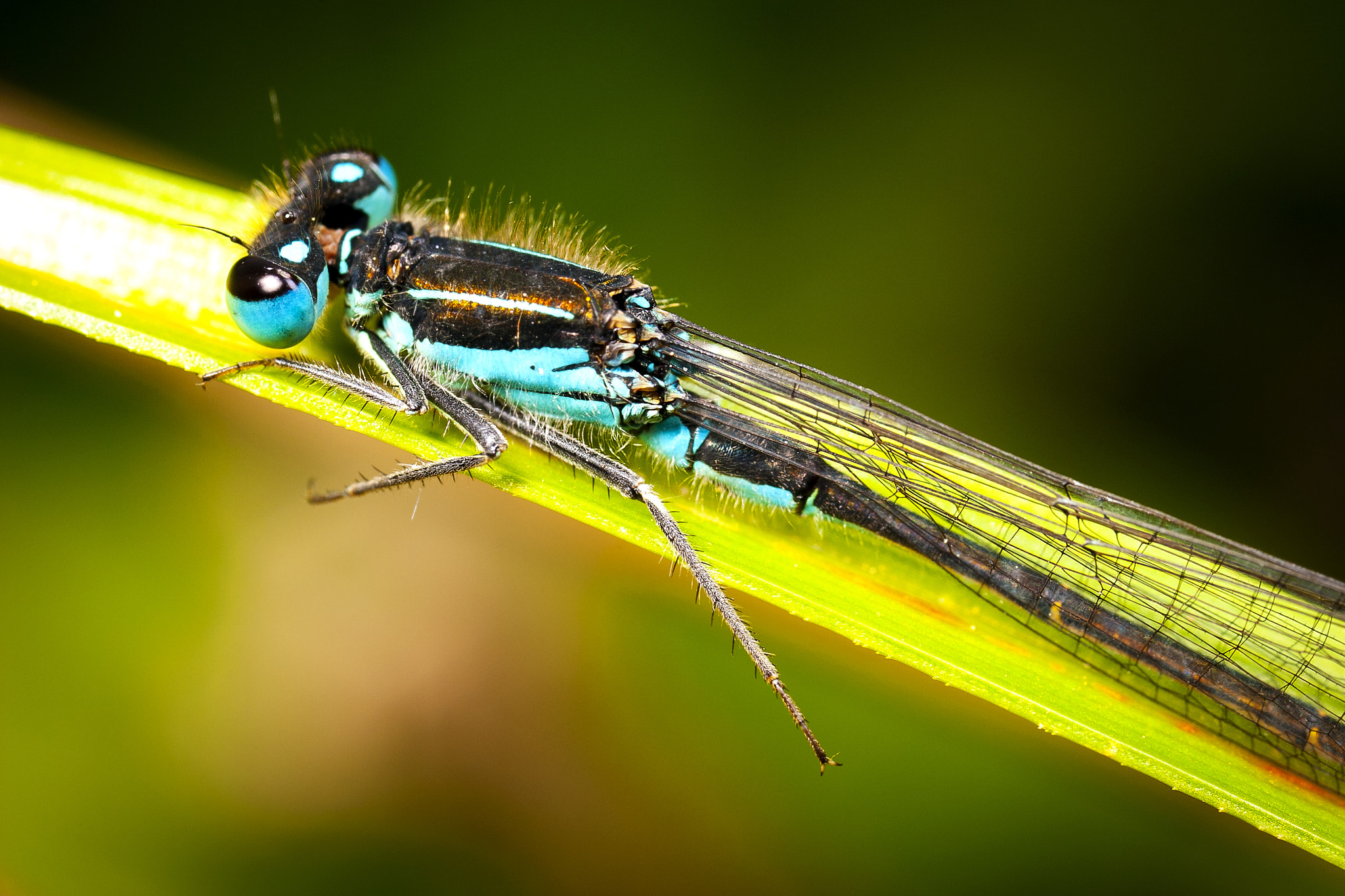 Photograph Blue Damselfly by Marc Laroubine on 500px