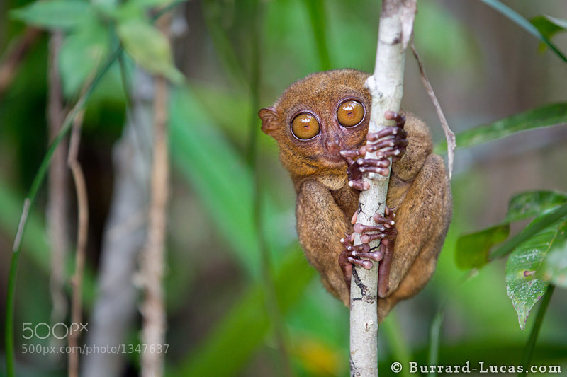 A Philippine Tarsier from Bohol Island in the Philippines. This is one of the cutest animals I have ever photographed! You can see more pictures in my blog post: http://b-l.me/tarsiers