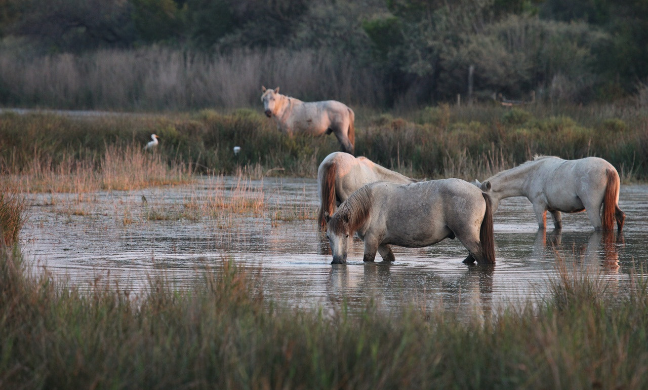 Photograph Camargue horses in the evening sun by Pescalune Photo on 500px