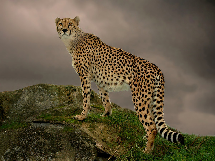 Cheetah by Ronald Coulter on 500px.com