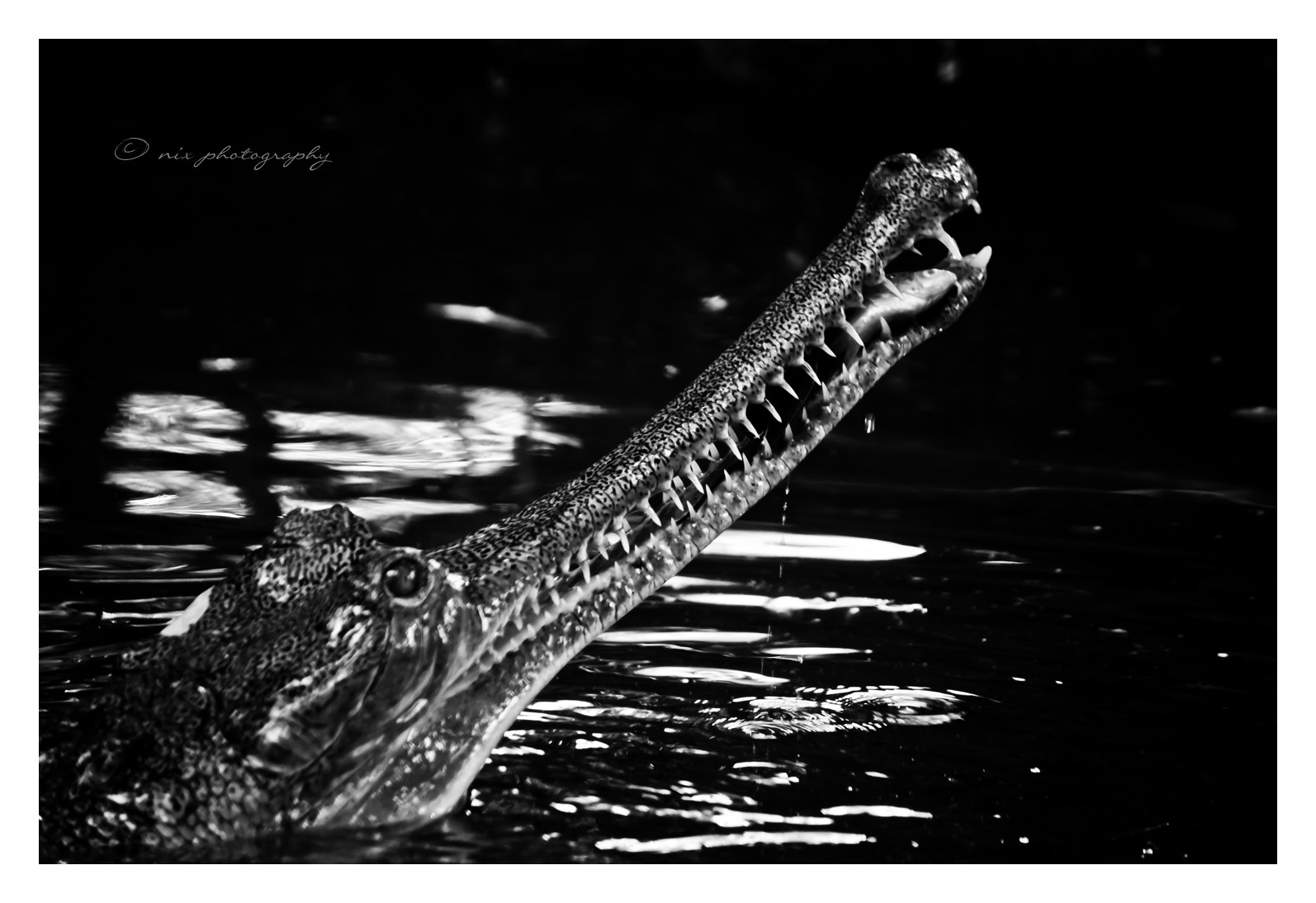 Photograph Killer Croc by Nithesh Kanth on 500px