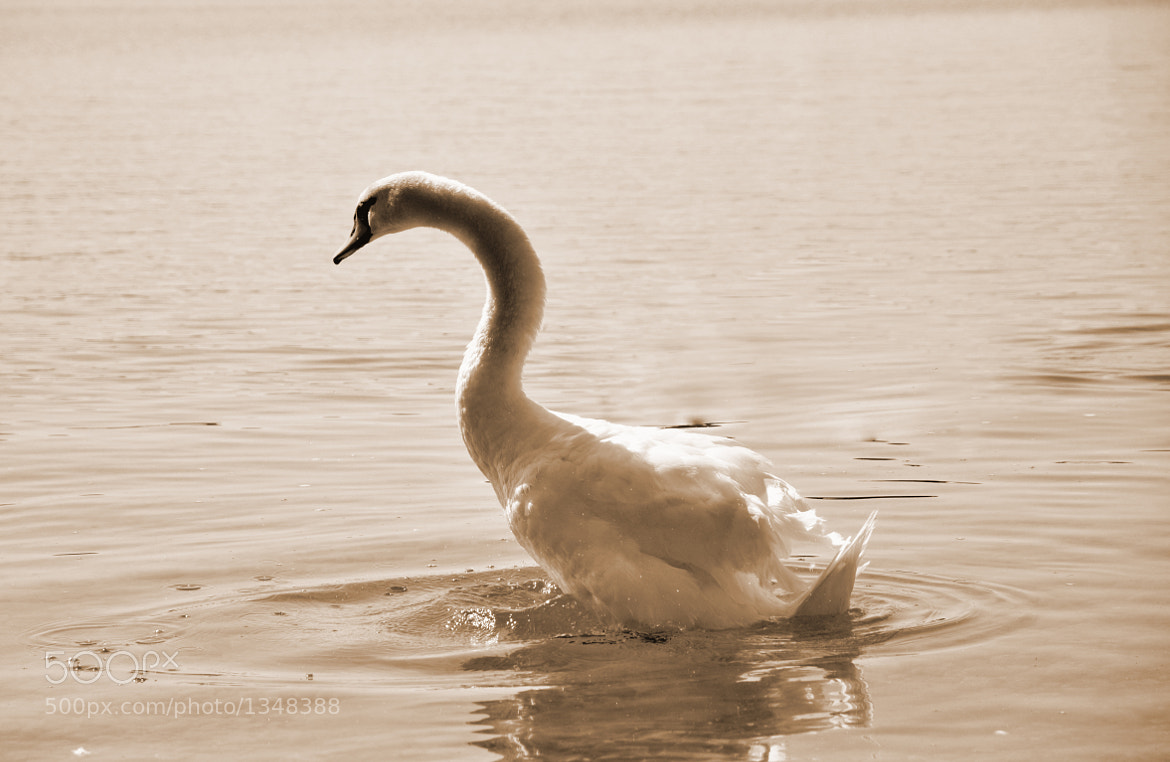 Photograph White Swan by Jan Engelmann on 500px