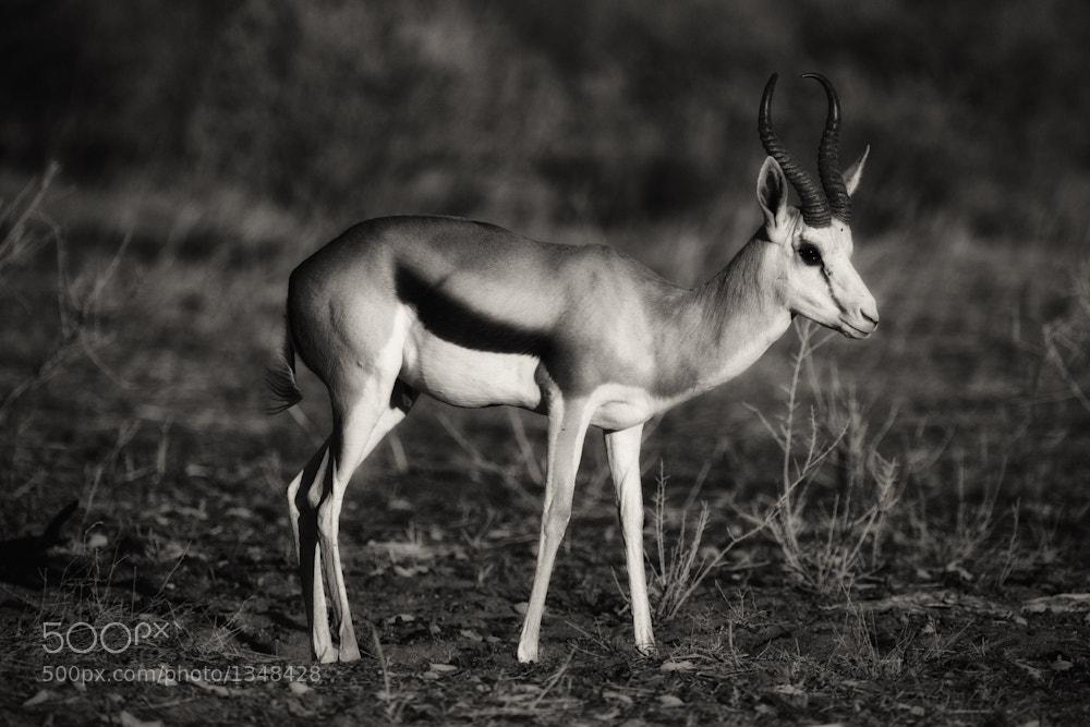 Photograph Springbok by Mario Moreno on 500px
