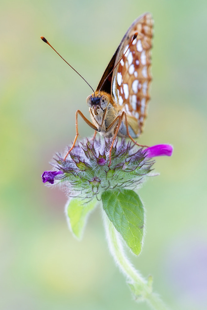 Photograph High Brown Fritillary by Christoph Jansch on 500px