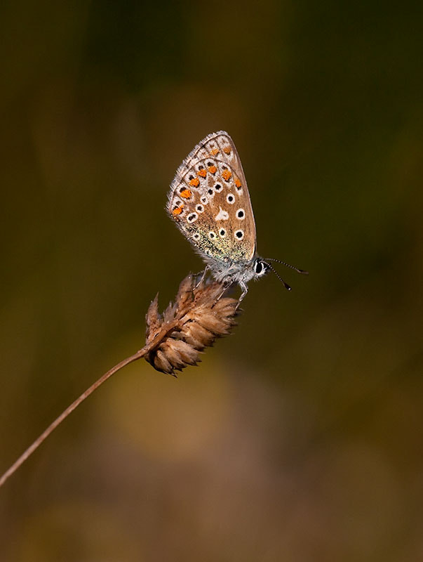 Photograph brown argus by dave blackwell on 500px