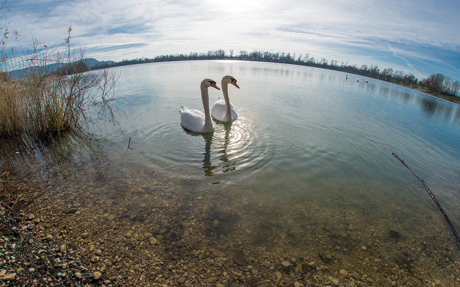 swans (01) by Vlado Ferencic on 500px.com