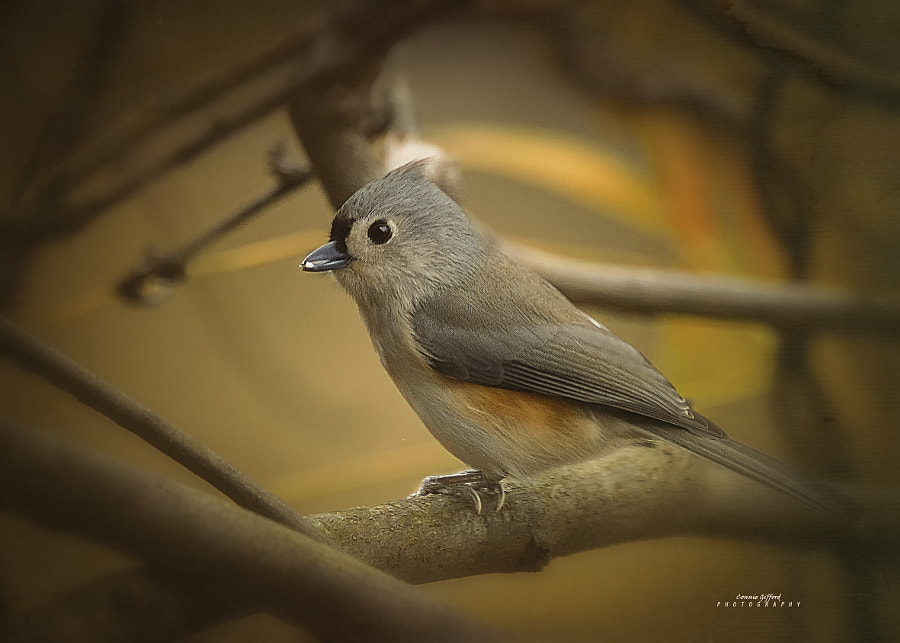 Tufted Titmouse by Connie  Gifford on 500px.com