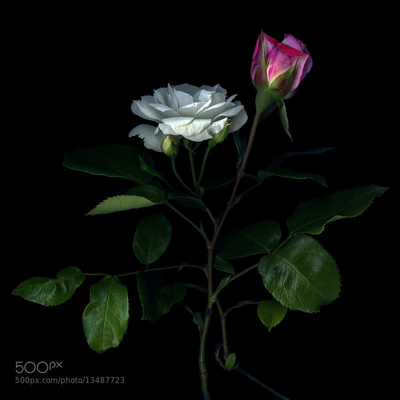Photograph NOT ALL ROSES HAVE THORNS... by Magda Indigo on 500px