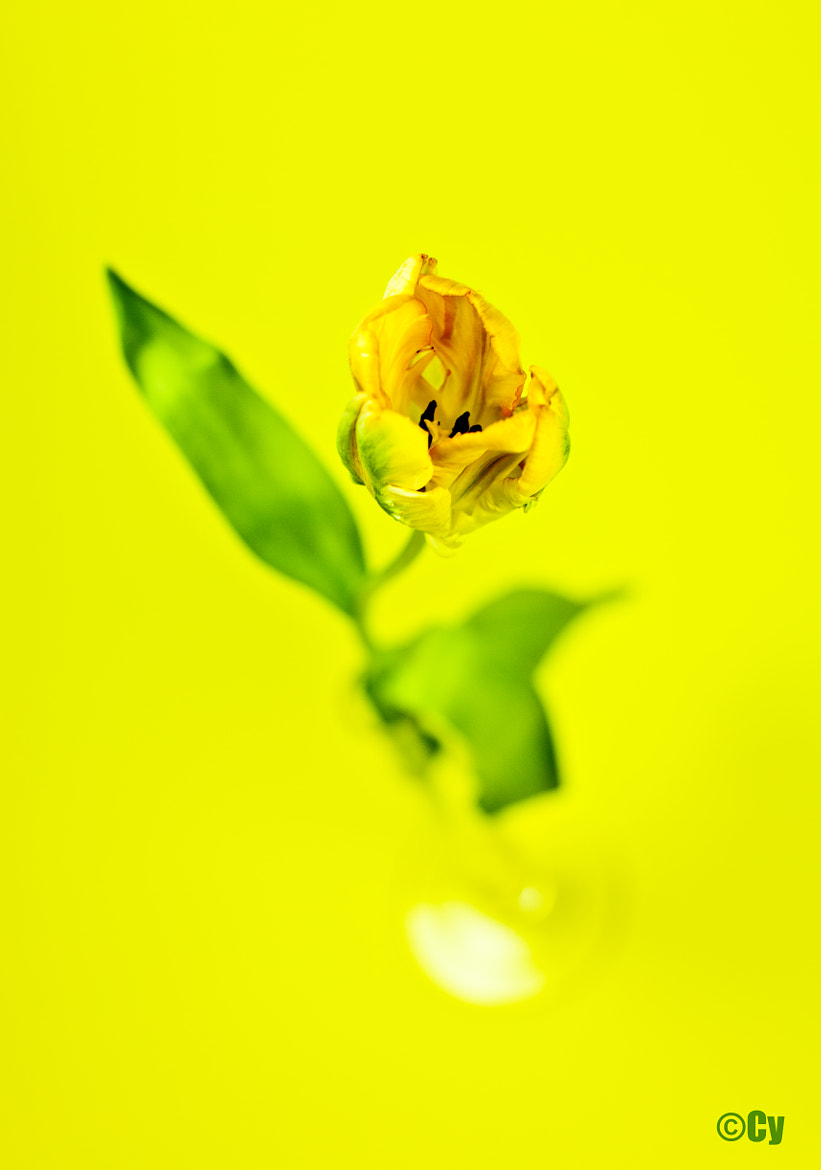 Photograph Yellow Tulip in Yellow by Cy Rena on 500px
