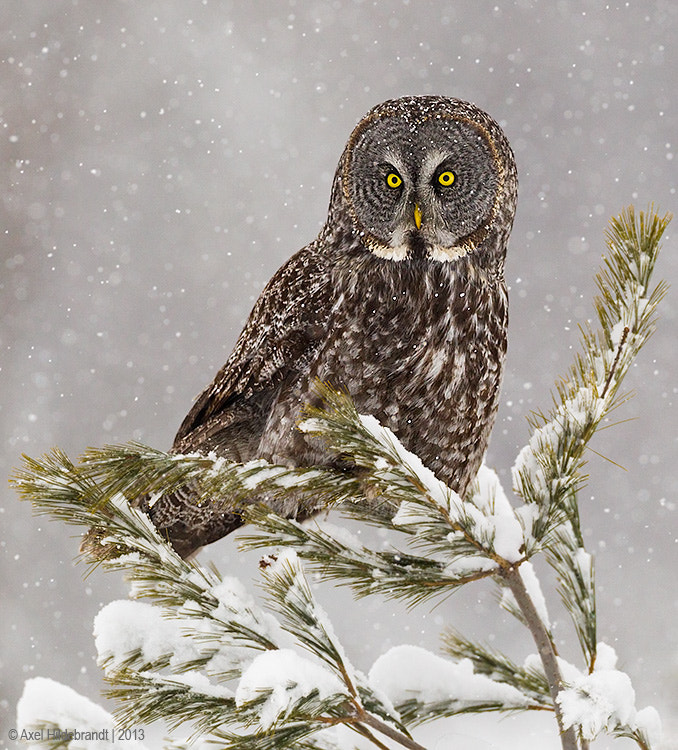 Great Gray Owl by Axel Hildebrandt on 500px.com