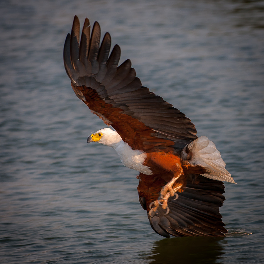 Photograph Fish eagle by Gorazd Golob on 500px