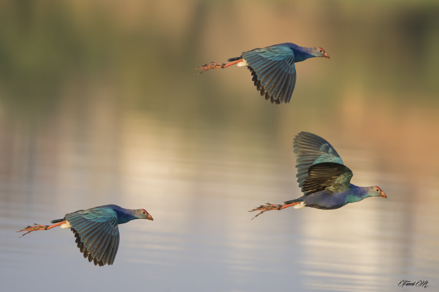 Swamphen by Fareed Mohmed on 500px.com