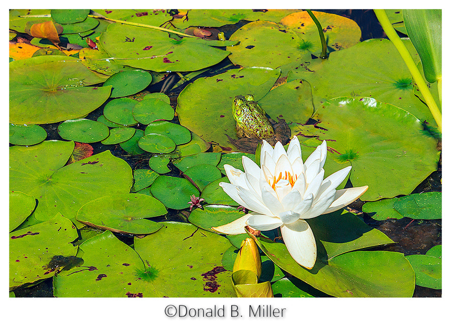 Photograph Lilly Pond by Donald Miller on 500px