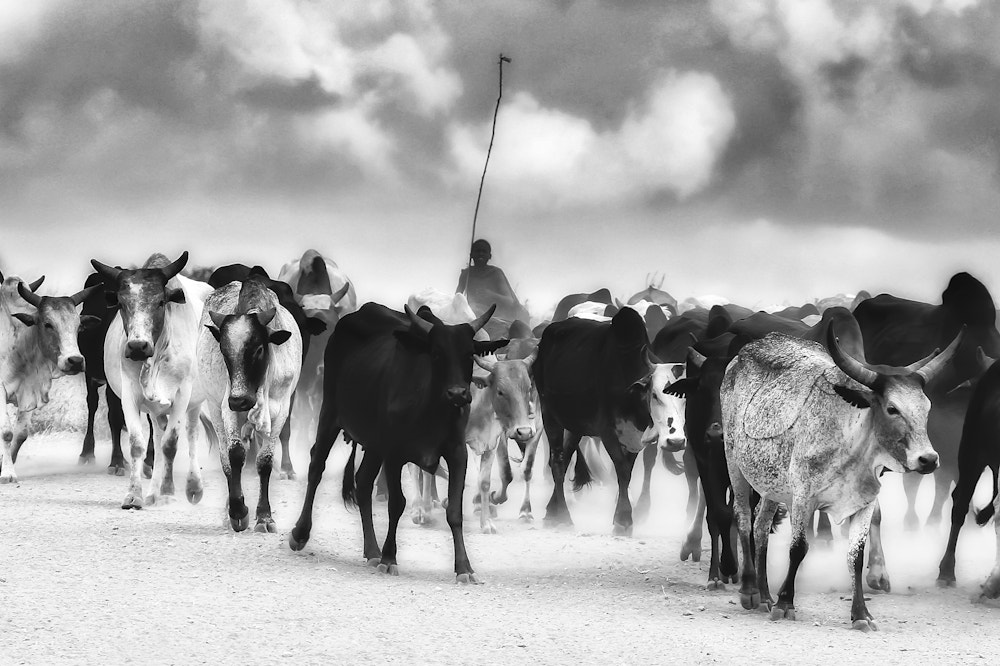Photograph Cattle in the dust by Mario Moreno on 500px