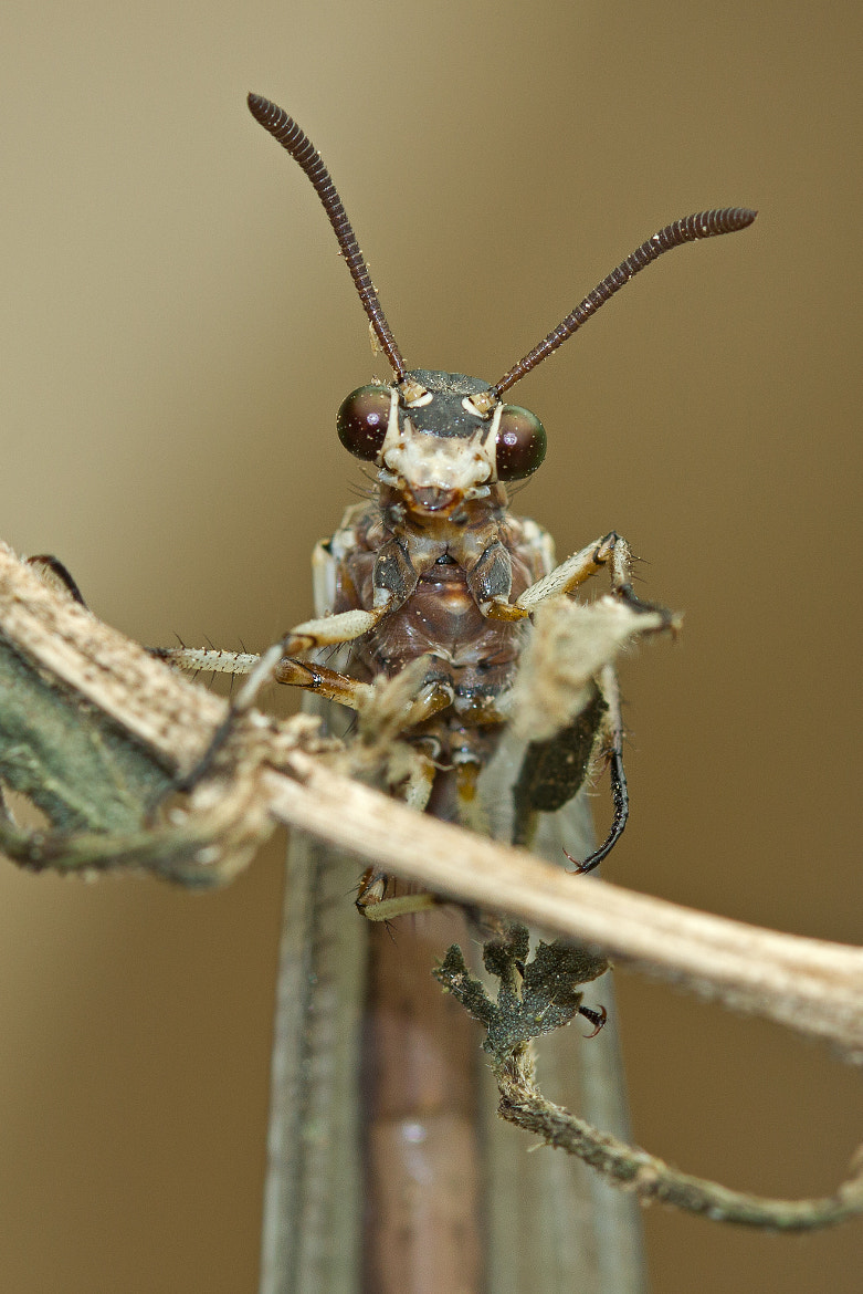 Photograph Antlion portrait by Anne Sorbes on 500px