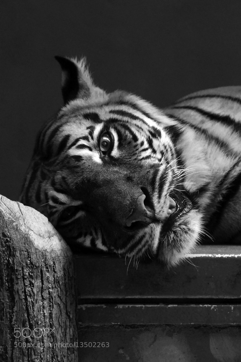 Photograph TIGR by Clara De Paoli on 500px