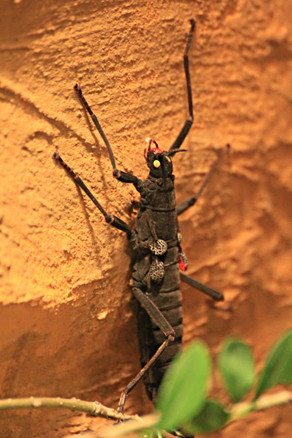 Photograph Black Grasshopper With Yellow Eyes by HankknaH on 500px