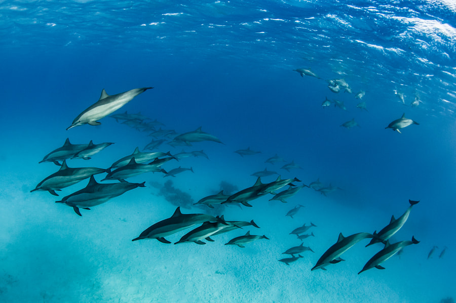 School of Dolphines