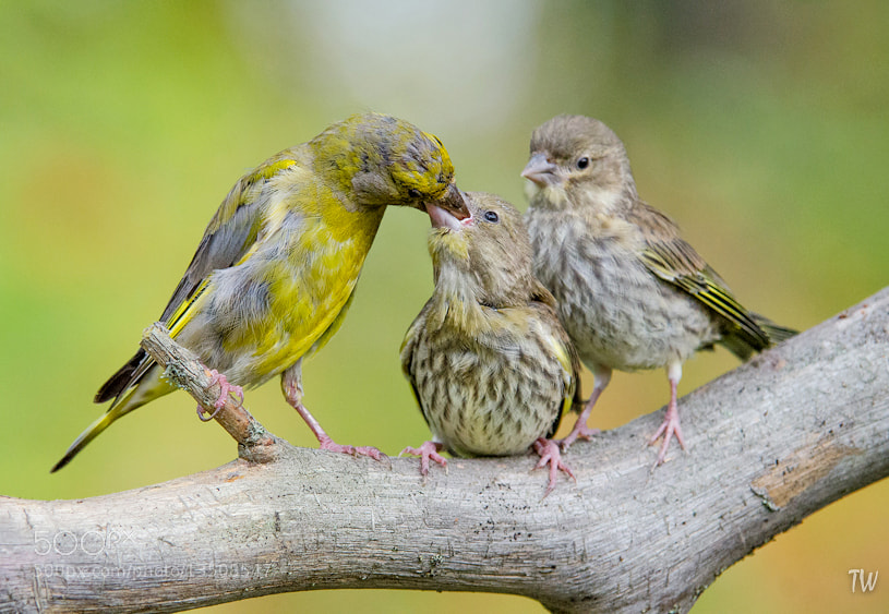 Photograph Greenfinch feeding by Trond  Westby on 500px