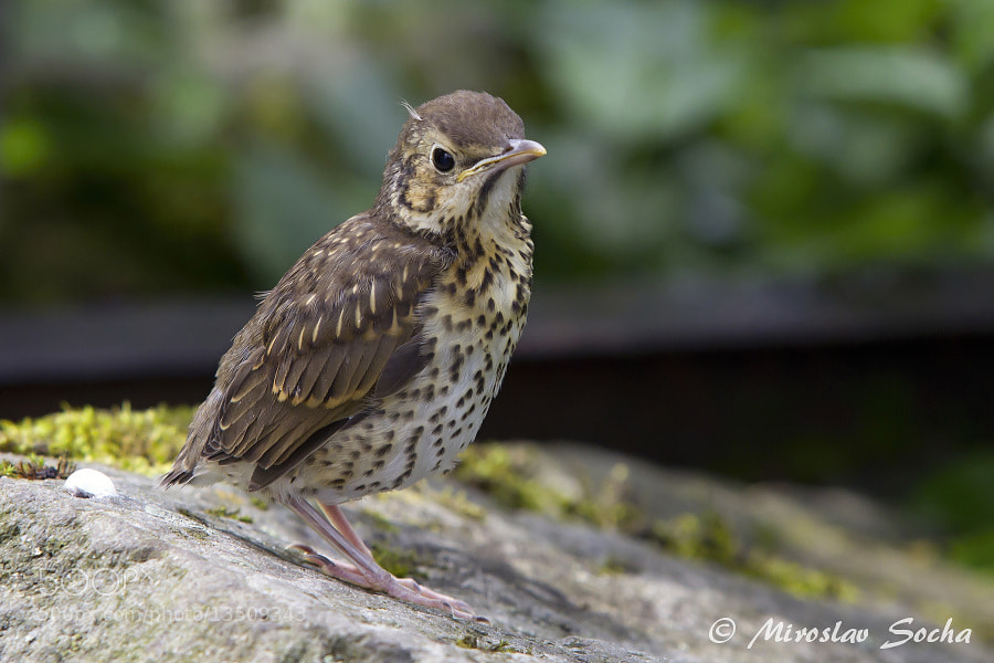 Photograph Young thrush by Miroslav Socha on 500px