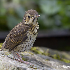 Young thrush by Miroslav Socha (MiroslavSocha)) on 500px.com